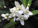 Neroli Reconstituted Essential Oil
