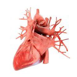 Human Pumping Heart Model