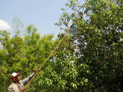 Mango Harvester