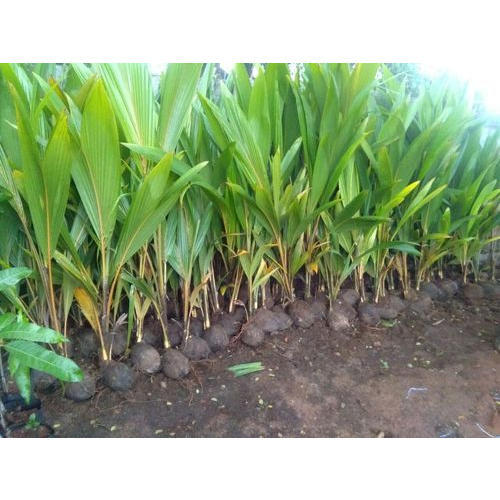 Tiptur Variety Coconut Plants At Rs 100 Piece Coconut Trees