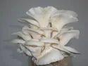 Oyester mushroom