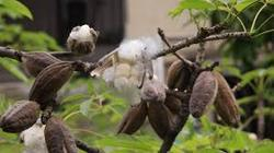 Bombax Ceiba Red Silk Cotton Tree Seeds