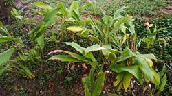 Curcuma Longa ( Turmeric)