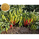 1580 F1 Hybrid Chilli Seed, For Sowing, Packaging Size: 10 Gm