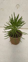 Imdoor Well Watered Succulents Plant