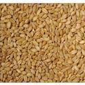 Hybrid Sharbati Wheat Seeds