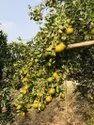 A Grade Fresh Orange Fruit