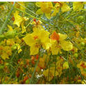 Horticultural Impex Parkinsonia Aculeata, Pack Size: 1 Kg