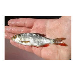 Spawn Common Carp Fish