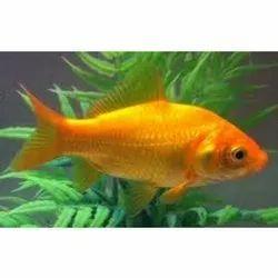 Fresh Gold Fish, 5Yrs