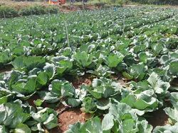 Green cabbage, Pesticide Free (for Raw Products)