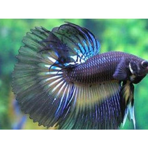 blue betta fish rs 200 piece vegro ventures private limited id