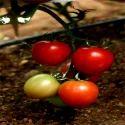 Hybrid Tomato Seeds TM - 1207