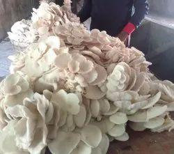 Fresh Oyster Mushroom, Packaging Type: PP Bag, Packaging Size: 1 Kg