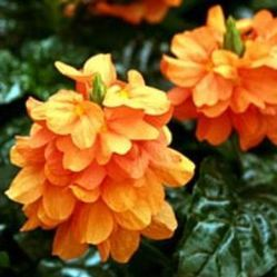 Fresh Crossandra Flowers