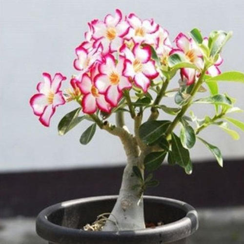Desert Rose Flower Plant
