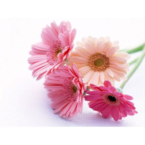 Gerbera Daisy Fresh Flower At Rs 30 Bunch Gerbera Flower Id 19942684588