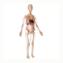 56cm Human Anatomical Models