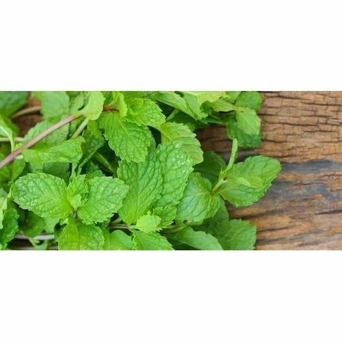 855f8b4de496 Fresh Mint Leaves at Rs 80  kilogram
