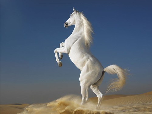 Pet Horse White Horse Wholesale Supplier From Nagpur