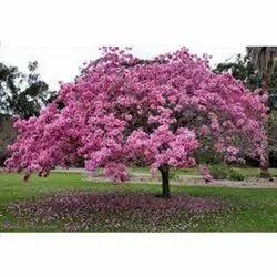 Tabebuia Avellanedae Tree