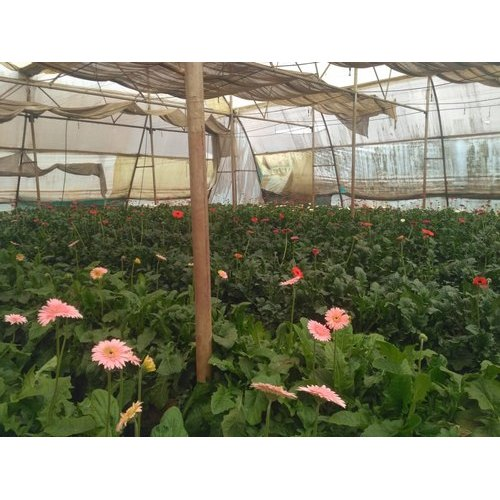 Well Watered Red And Pink Gerbera Flower Plant For Garden Rs 10 Piece Id 20975715655