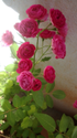 Fresh Flowers Pink Button Rose