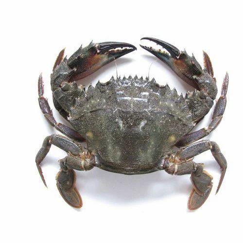 Live Crab, ????? ?????? at Rs 350 /kilogram | Live Crab