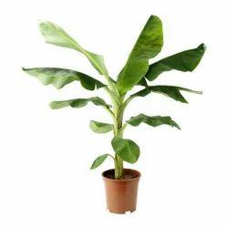 G9 Banana Plants