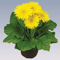 Yellow Gerbera Pot Plant, For Party Decoration