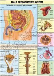 ReProductive (Male)  For Human Physiology chart