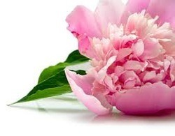 Green Heaven Peony Extract, Pack Size: 5 kg, Packaging Type: Polybag