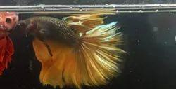 Full Moon Betta Fish