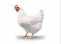 康沃尔母鸡