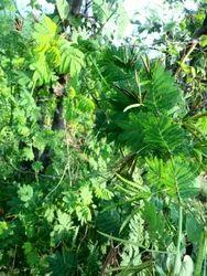 Velimasal Seed