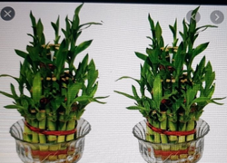 Lucky Bamboo,Good Luck Plants