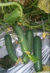 A Grade Pan India Cucumber Khira, Packaging Size: 20 Kg