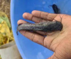 Black Catfish Fish Seeds, 6 Months, Size: 2 Inch