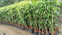 Brown Mango Maamidi Nursery Plants Supply, For Garden, Packaging Type: Bag