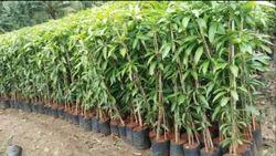 Maamidi Nursery Plants Supply