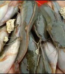 Magur Fish