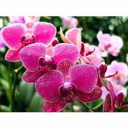 Fresh Orchid Flower