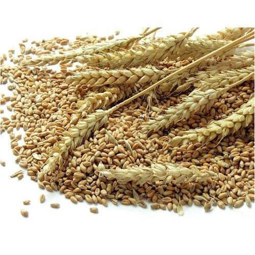 Organic Wheat Grains