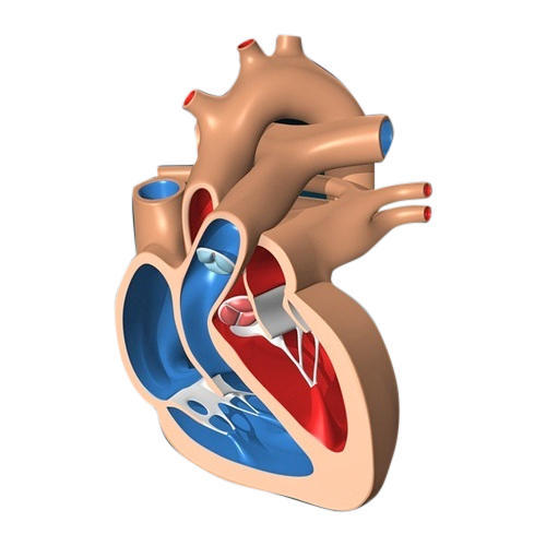 Heart Lab Model at Rs 3000 /piece | Human Body Part Models | ID ...
