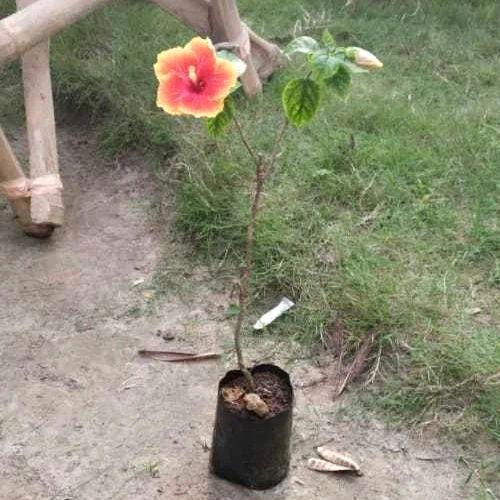 Yellow Hibiscus Flower Plant Sri Ramkrishna Nursery Id 20091768155