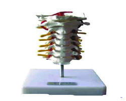 Cervical Vertebral Column Model