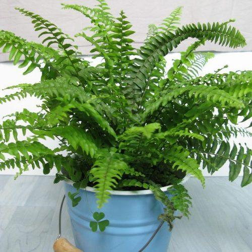 boston fern how to grow and care for nephrolepis species. Black Bedroom Furniture Sets. Home Design Ideas