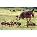 Ostrich Grower Feed