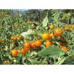 Tomato Plant Seeds, For Agriculture, Pack Size: 500 Seeds
