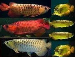 Red Kissing Gourami Arowana Fish
